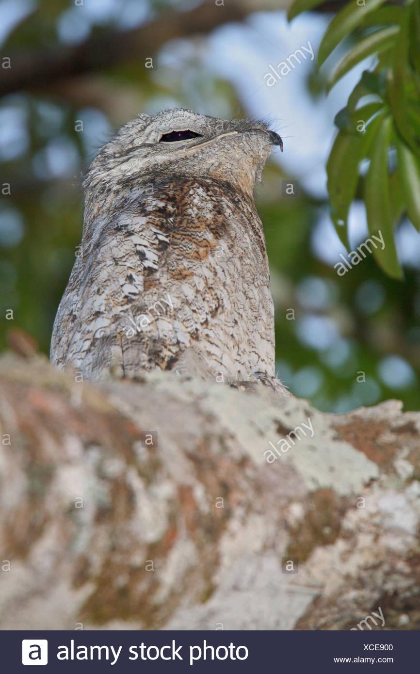 Große aber (Nyctibius Grandis) thront auf einem Ast in Peru. Stockbild