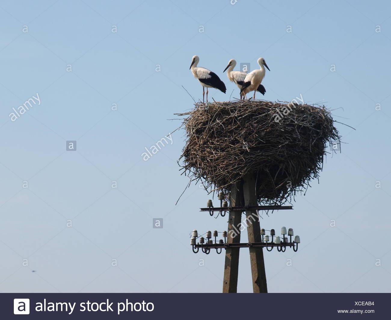 Weißstörche im Nest auf einem Telegrafenmast Stockbild