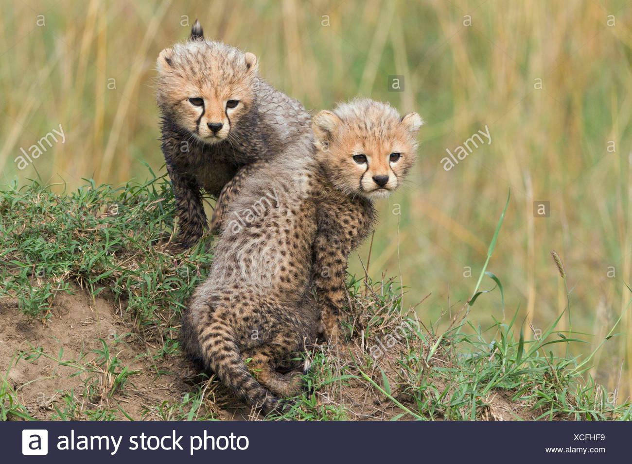 Geparden (Acinonyx Jubatus), jungen, mehrere Wochen, Massai Mara, Serengeti, Provinz Rift Valley, Kenia Stockbild