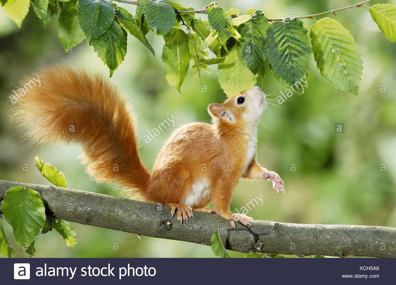 europäische eichhörnchen auf haselnuss baum stockfoto