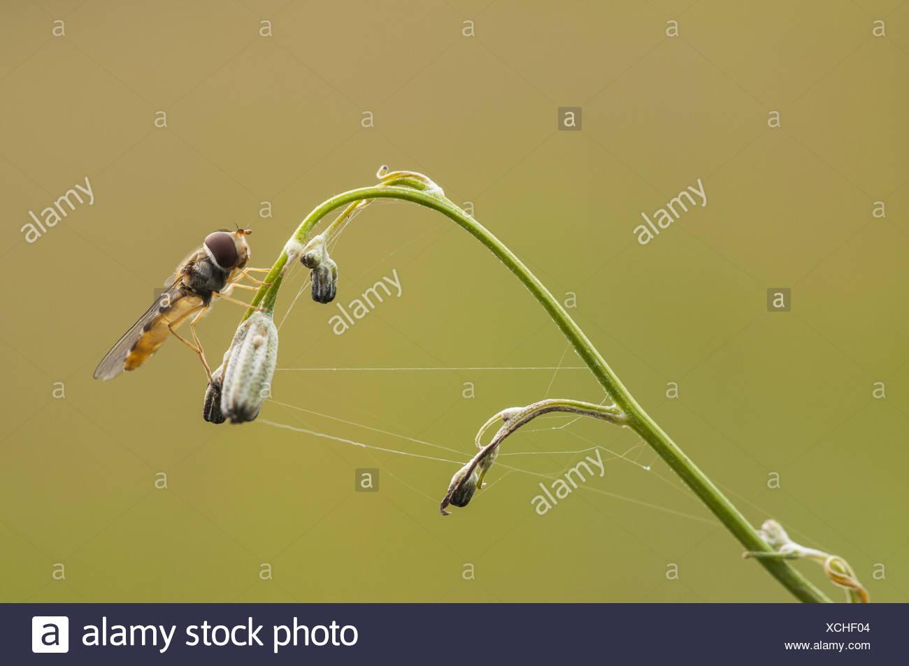 Hoverfly (Syrphus Ribesii), Weiblich, Deutschland Stockbild