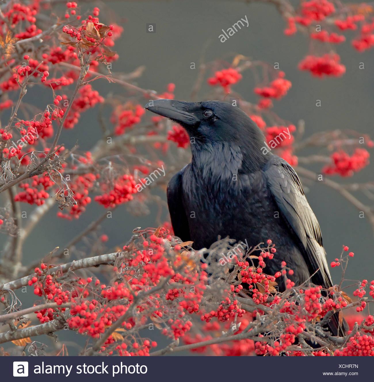 Alaska. Kolkrabe (Corvus Corax) Eberesche Beeren essen Seward. Stockbild