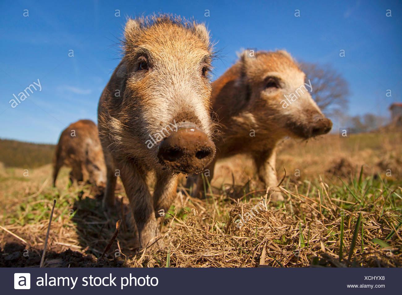 Wildschwein, Schwein, Wildschwein (Sus Scrofa), drei hatte auf einer Wiese, Deutschland, Rheinland-Pfalz Stockbild