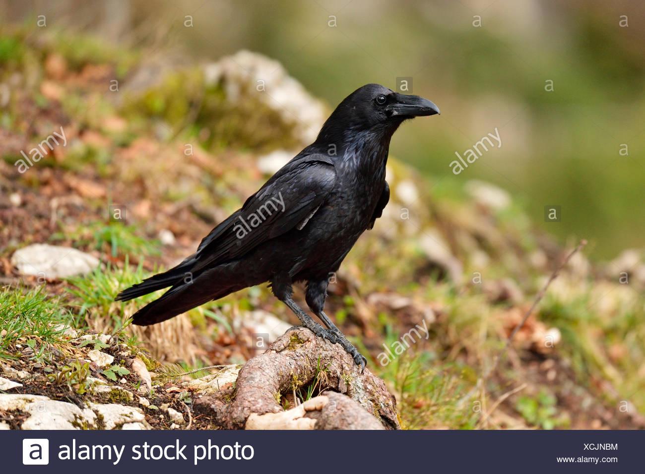 Raven (Corvus Corax) sitzen auf Wurzel, Kanton Jura, Schweiz Stockbild