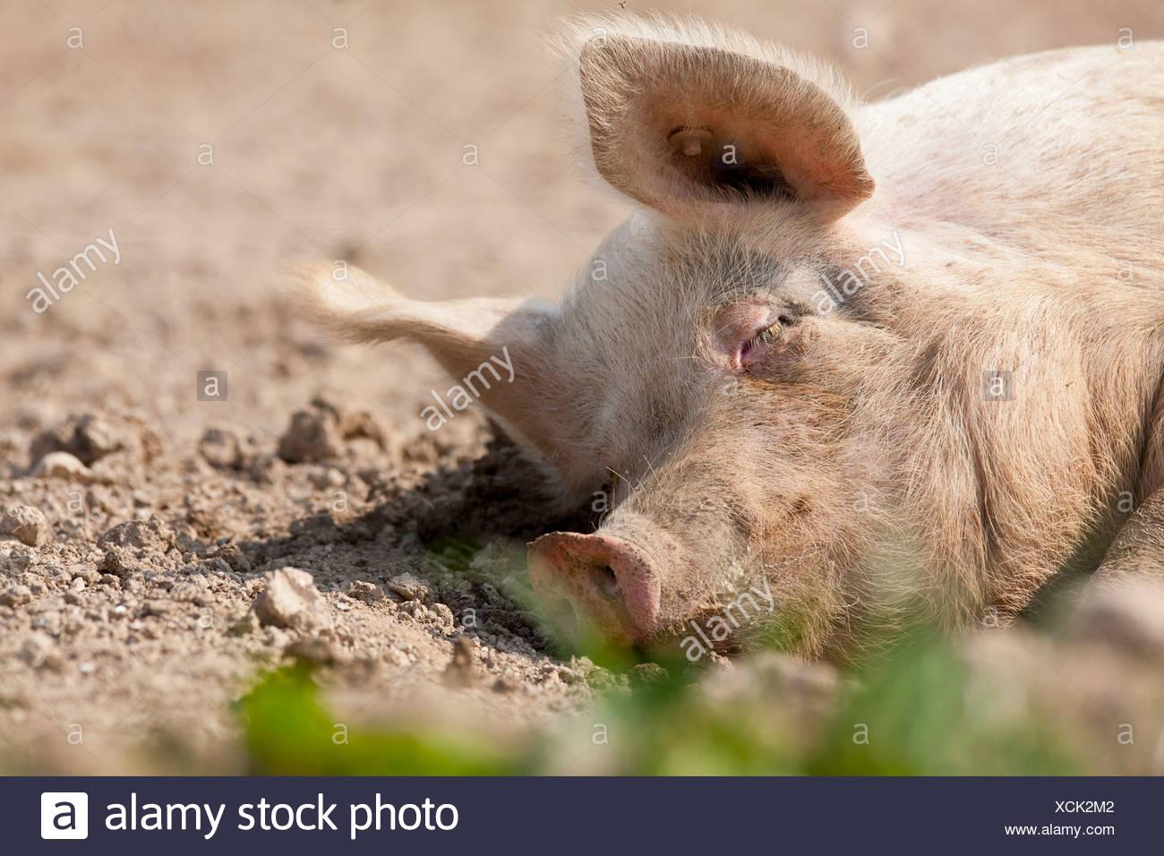 Ruhiges schlafen im Schmutz Schwein Stockbild