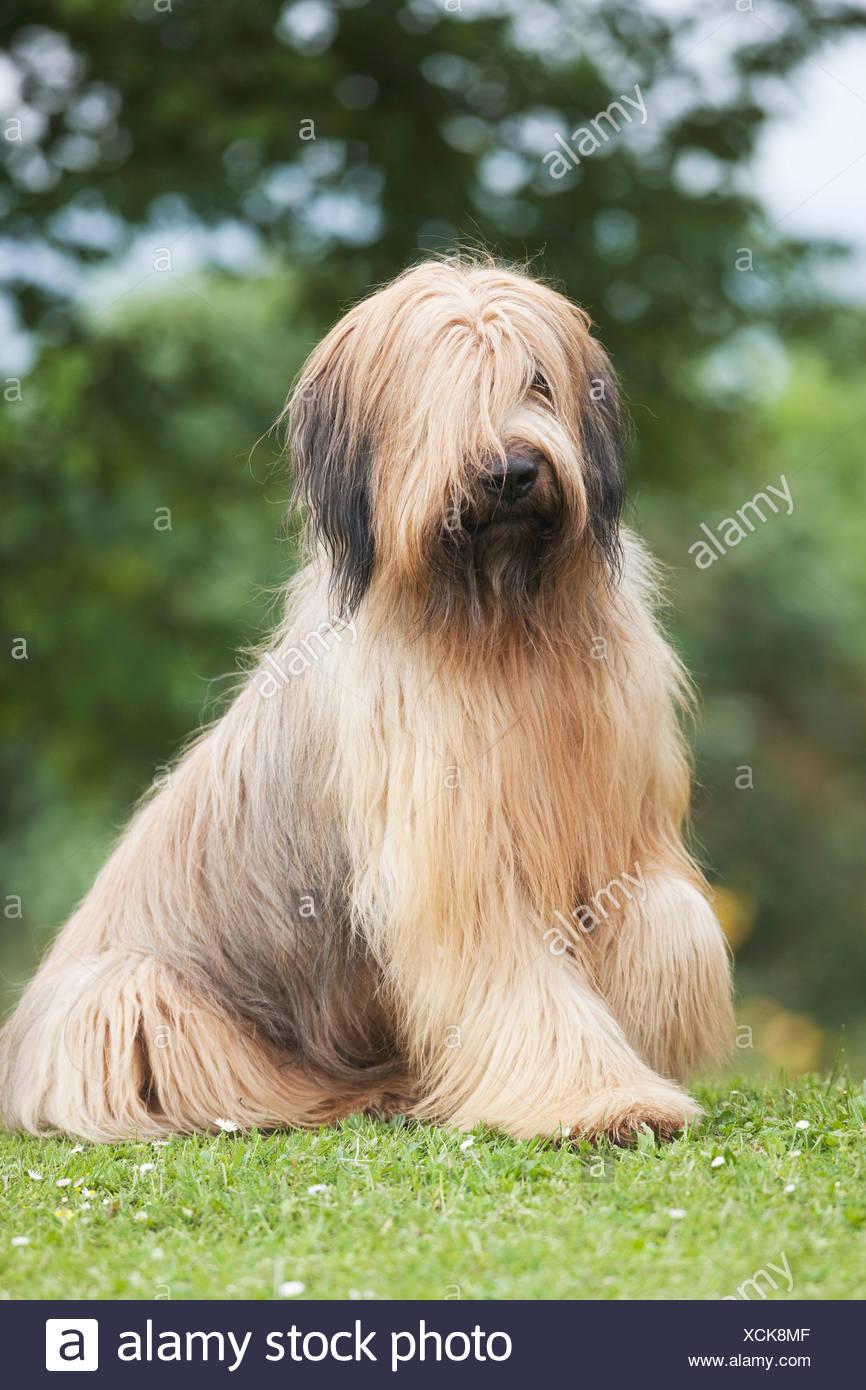 Briard Hund sitzen Wiese Stockbild