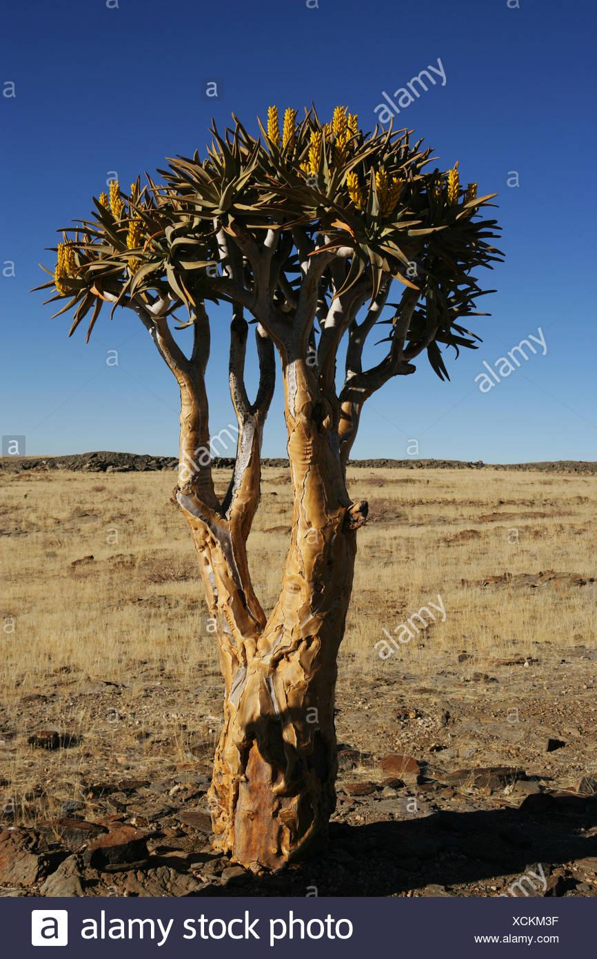 Einsame Köcherbäume in der Namib Wüste, Namibia Stockfoto