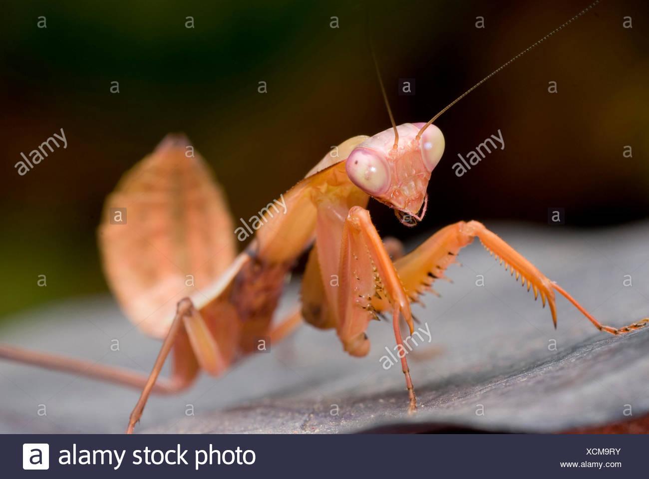 Riesige malaysischen Schild Gottesanbeterin (Rhombodera Basalis), sitzt auf einem Blatt Stockbild