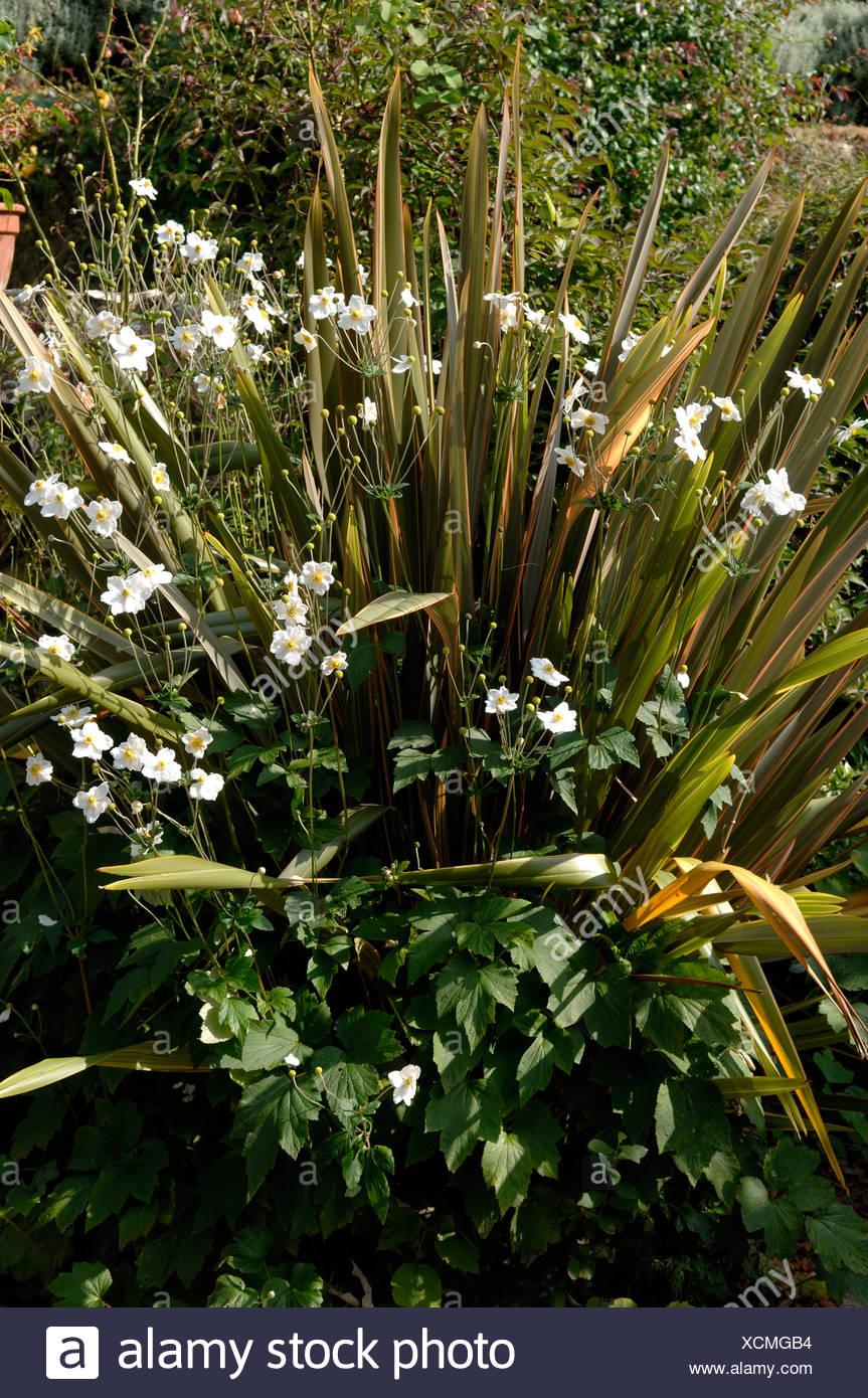 Neuseeland Flachs Phormium Sundowner mit blühenden Anemonen X hybrida Honorine Jobert Stockfoto