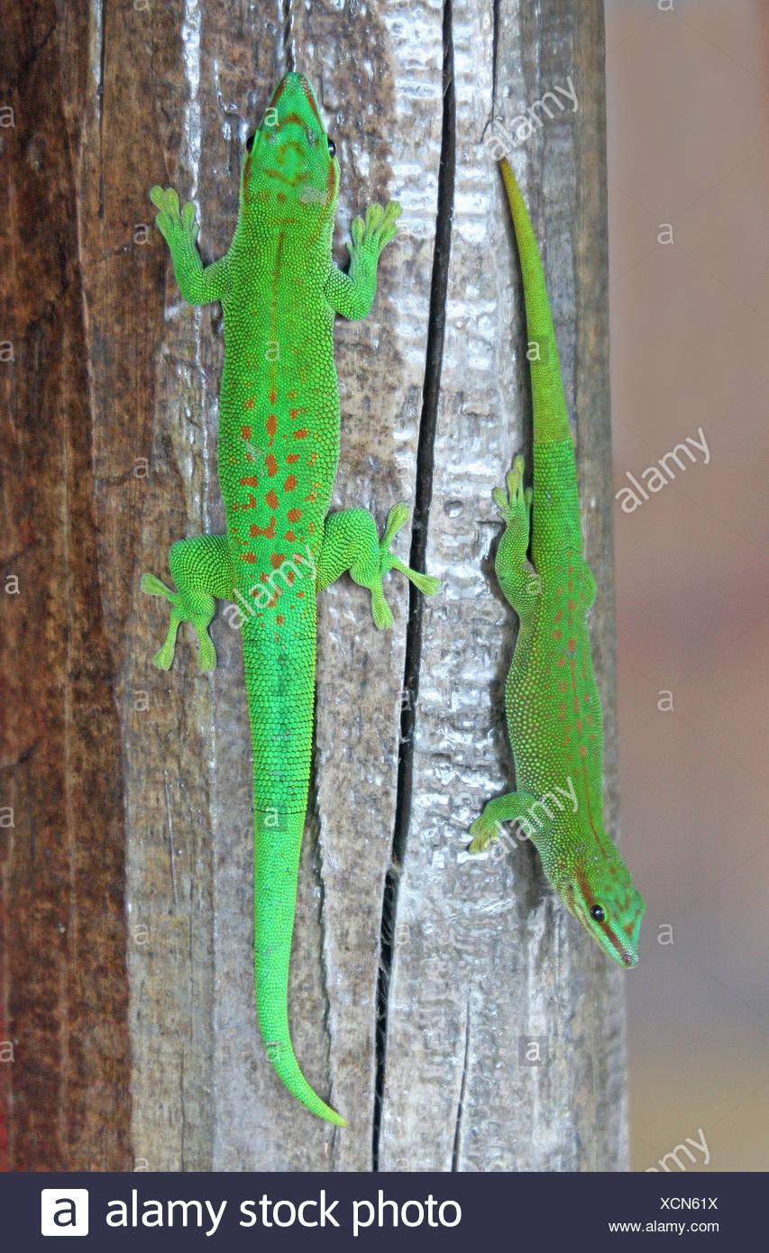 Taggecko Michael gore Madagaskar endemischen Arten Gecko Geckos Reptil Reptilien Eidechse Eidechsen Tier Tiere Madagaskar Madagaskar Stockbild
