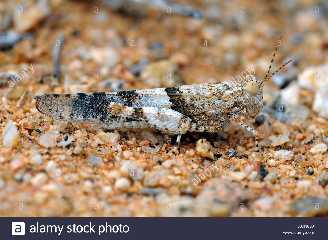 Feld-Grashüpfer (Acrotylus) in perfekte Tarnung der Farbe des umgebenden felsigen Gelände, Nature Reserve, Namaqualand Stockbild