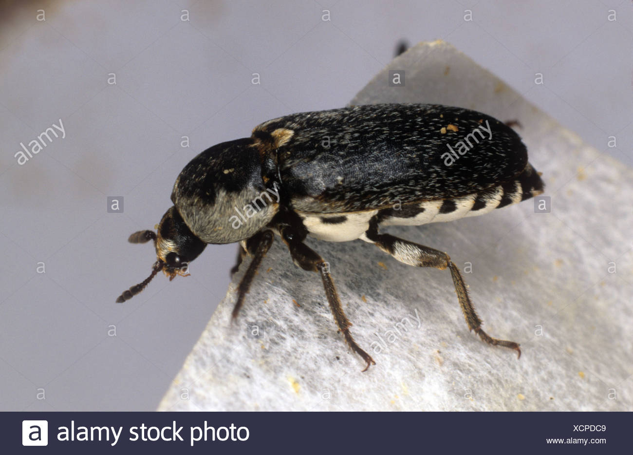 Käfer (Dermestes Frischi) Erwachsenen Schädling zu verstecken Stockbild