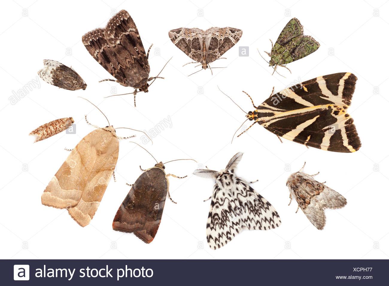Small Phoenix Moth Ecliptopera Silaceata Stockfotos Small Phoenix