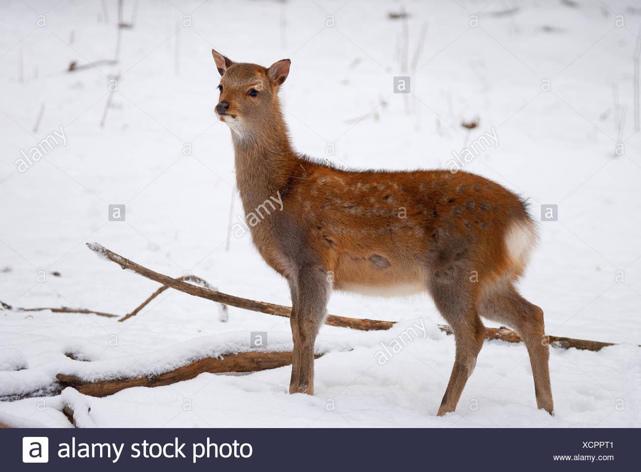 Sika Rotwild (Cervus Nippon), juvenile im Schnee, Deutschland Stockbild