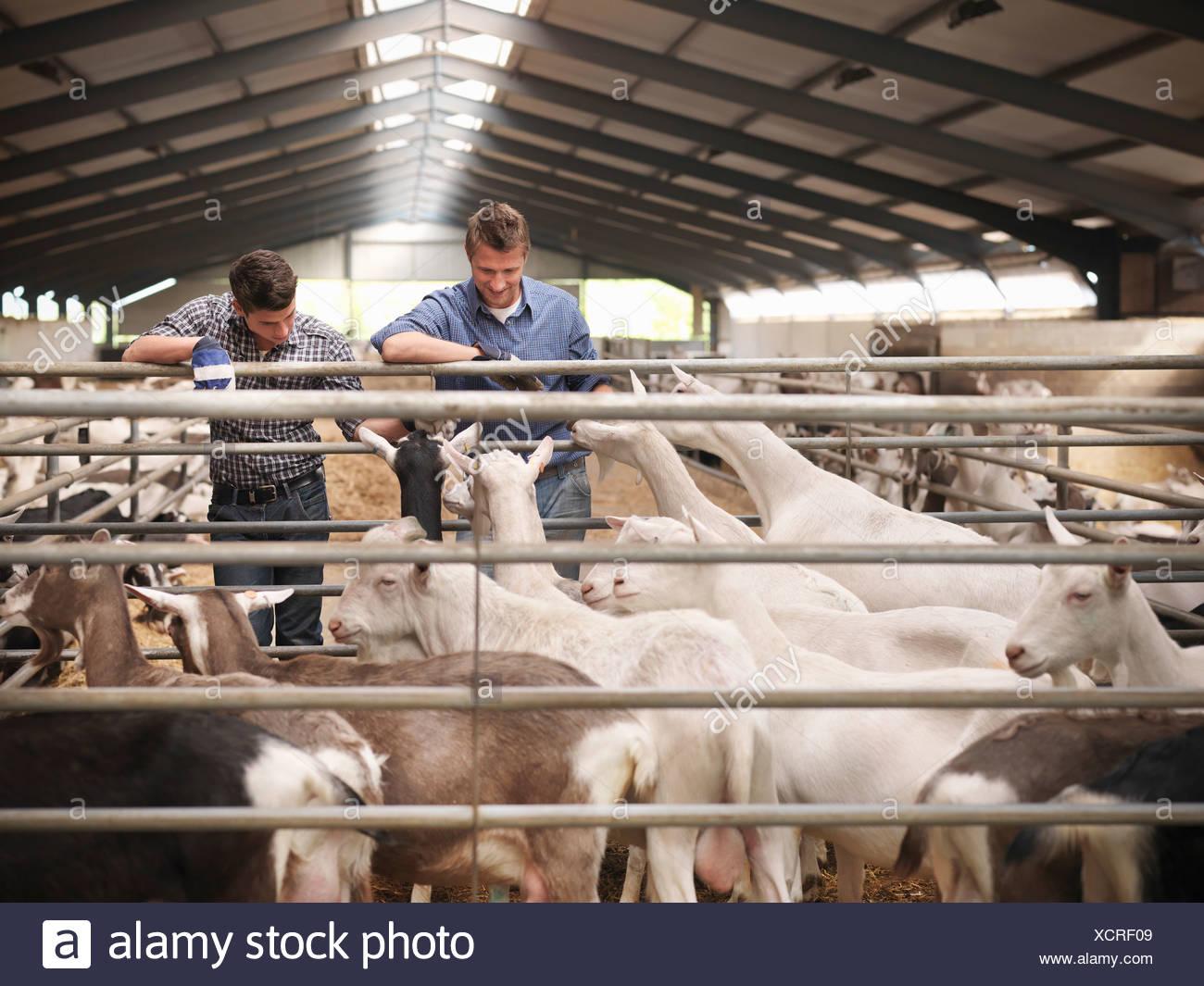 Arbeitnehmer, die tendenziell Ziegen auf Bauernhof Stockbild
