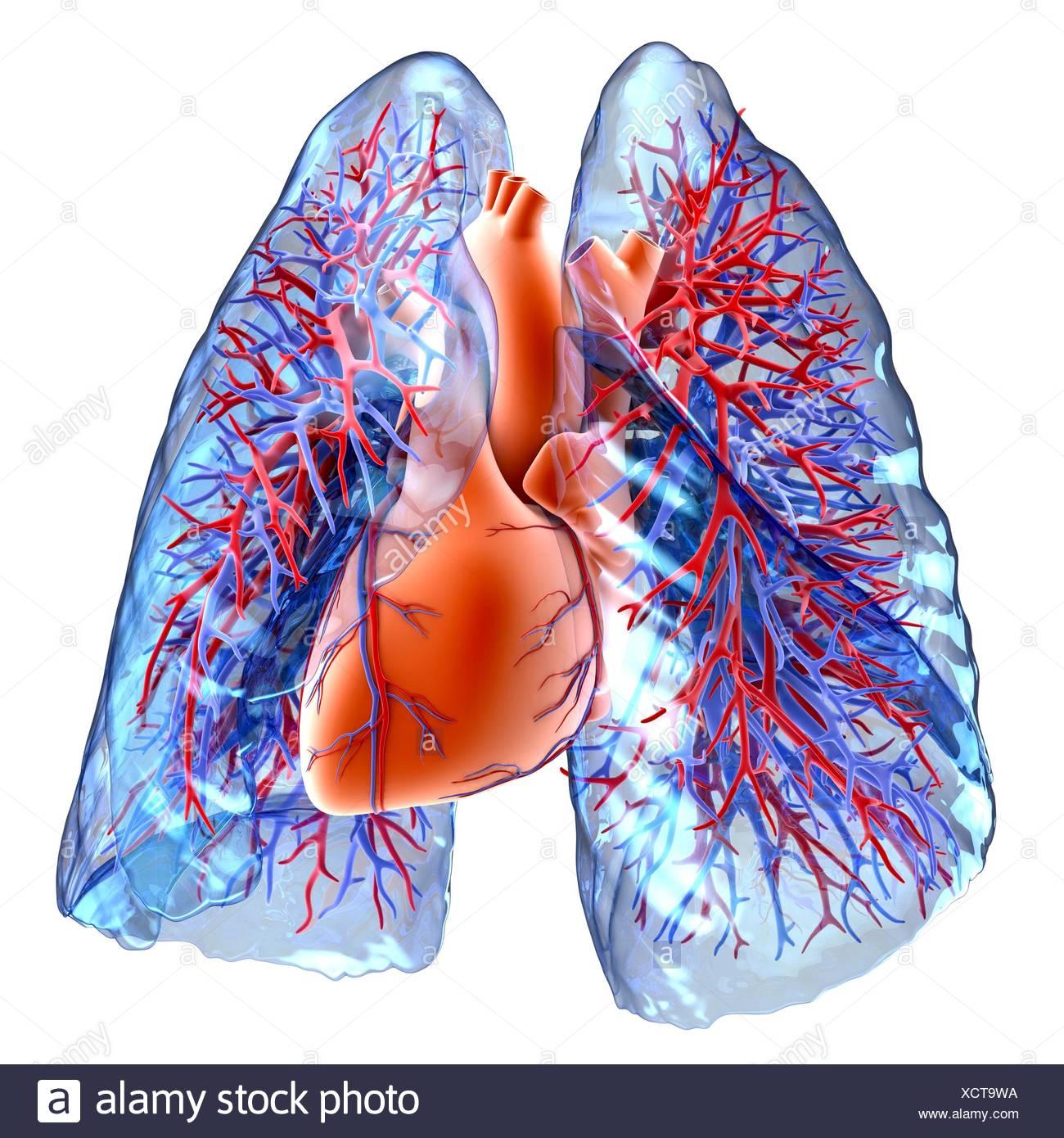 Oxygenated Deoxygenated Blood Stockfotos & Oxygenated Deoxygenated ...