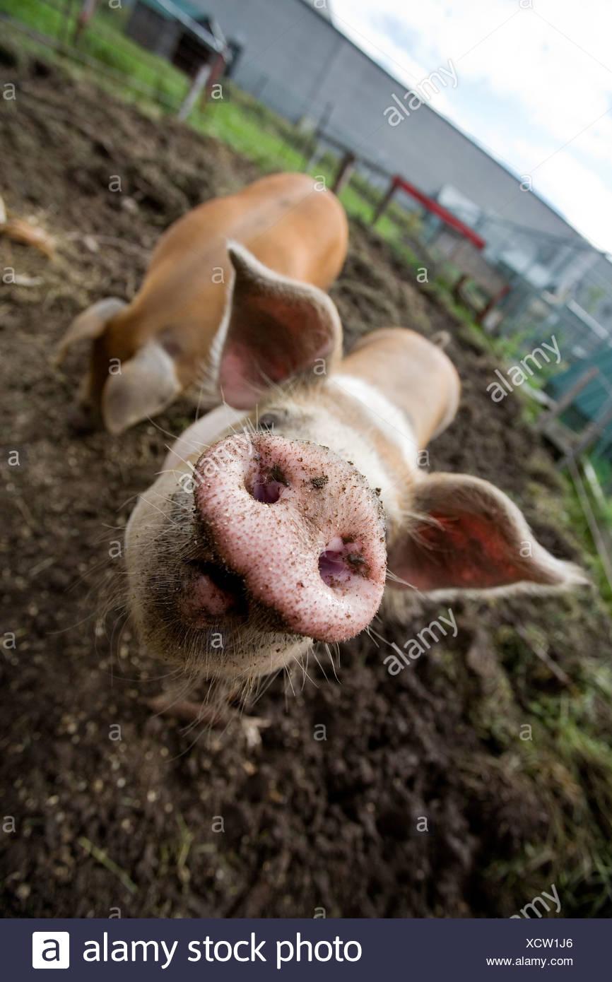 Tiere im Streichelzoo Schweine Schwein, Rougemont, Quebec, Kanada. Stockbild