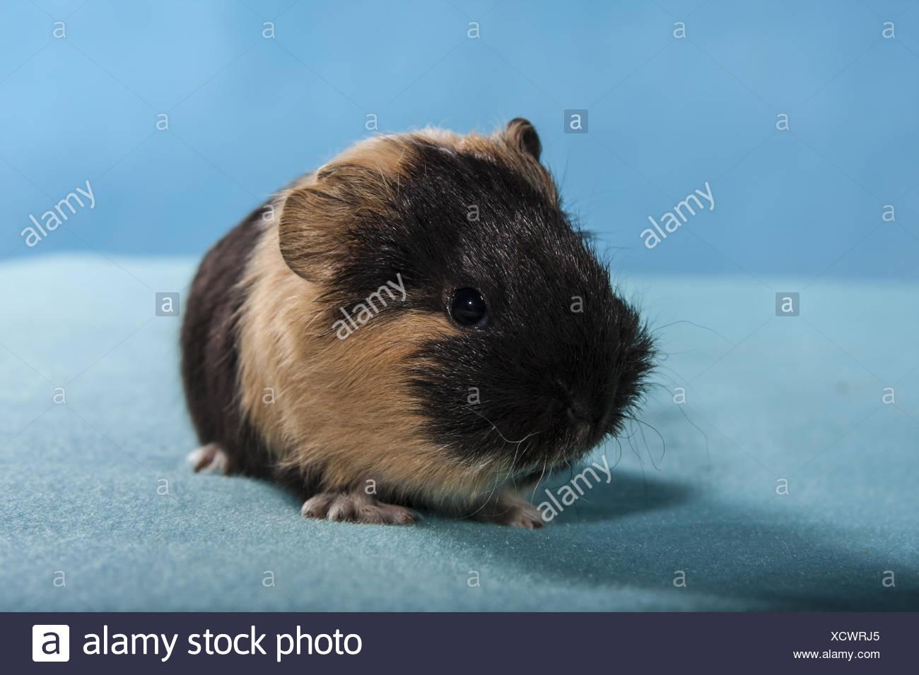 Meerschweinchen Baby In Sachsen Ebay Kleinanzeigen