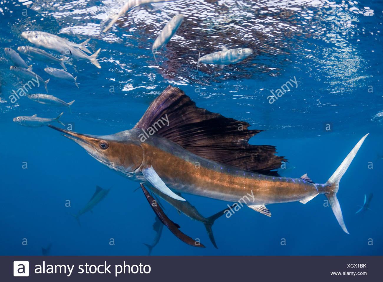 Atlantische Fächerfisch {Istiophorus Albicans} angreifen Köder Ball der spanischen Sardinen {Sardinella Golden} aus Yucatan Halbinsel Stockbild