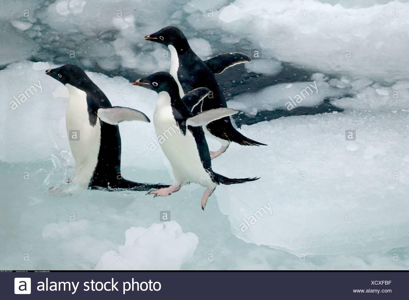Drei Adelie-Pinguine springen ins Wasser Paulet Insel Antarktis Stockbild