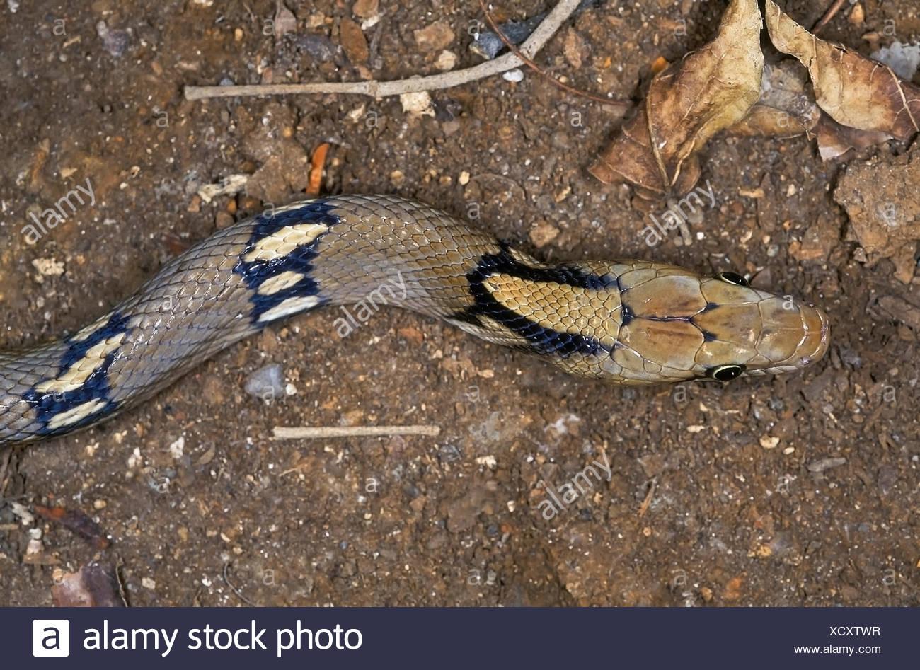 MONTANE KINKERLITZCHEN Schlange Coelognathus Helena Monticollaris. Kopf. Muster von Amboli, Maharashtra, Indien. Stockbild