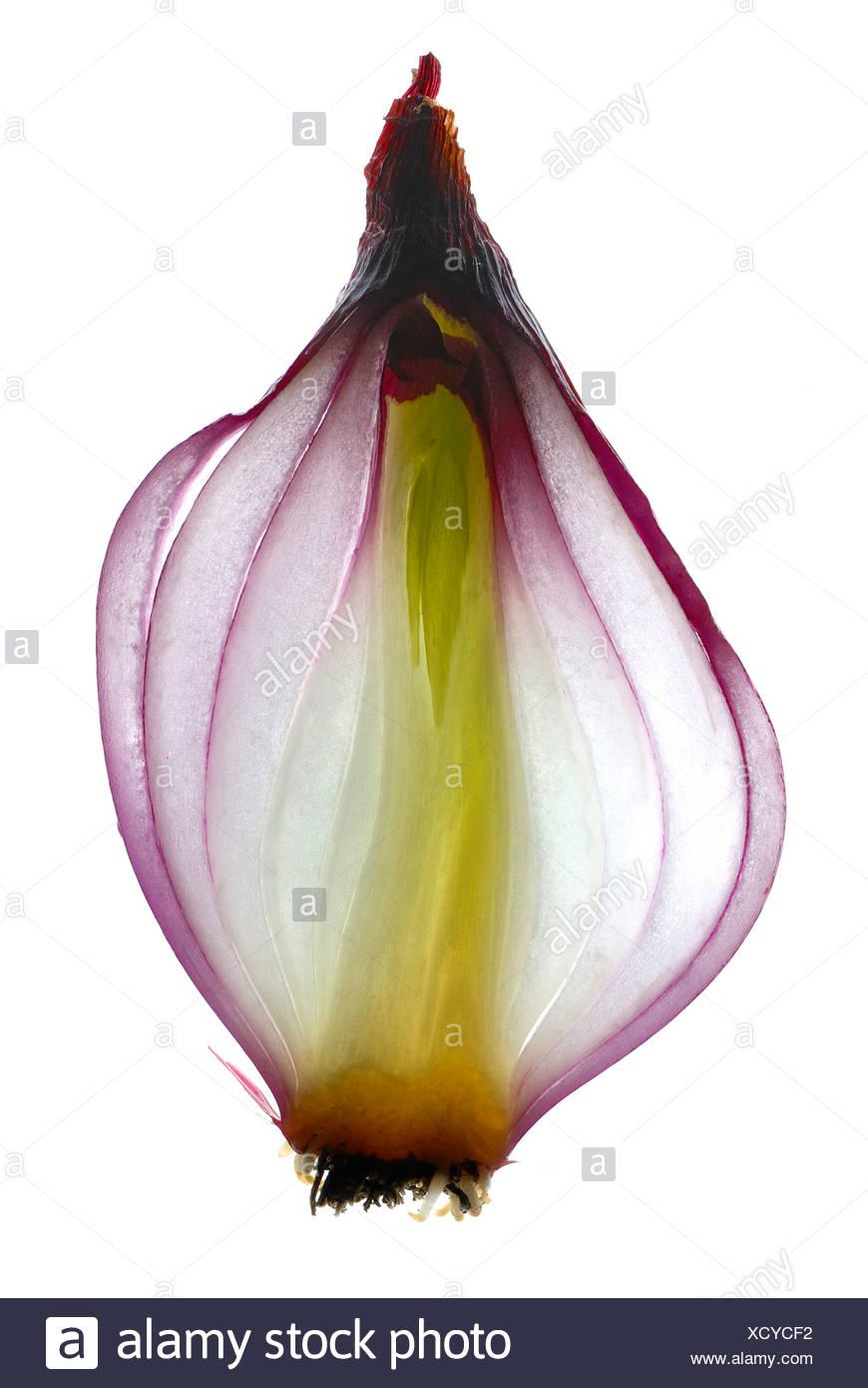 Querschnitt aus einer roten Zwiebel (Allium Cepa) Stockbild