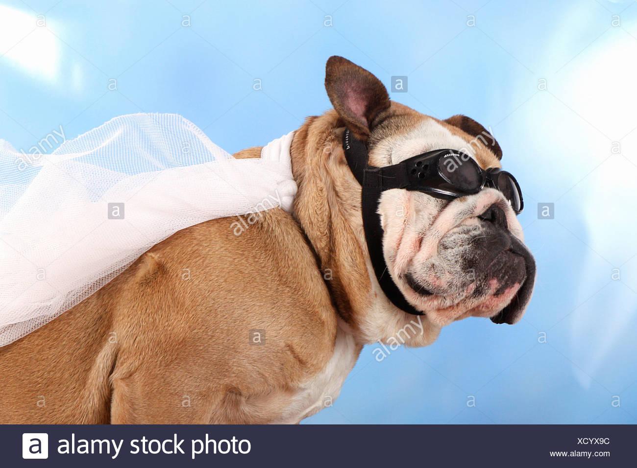 Mantel englische bulldogge