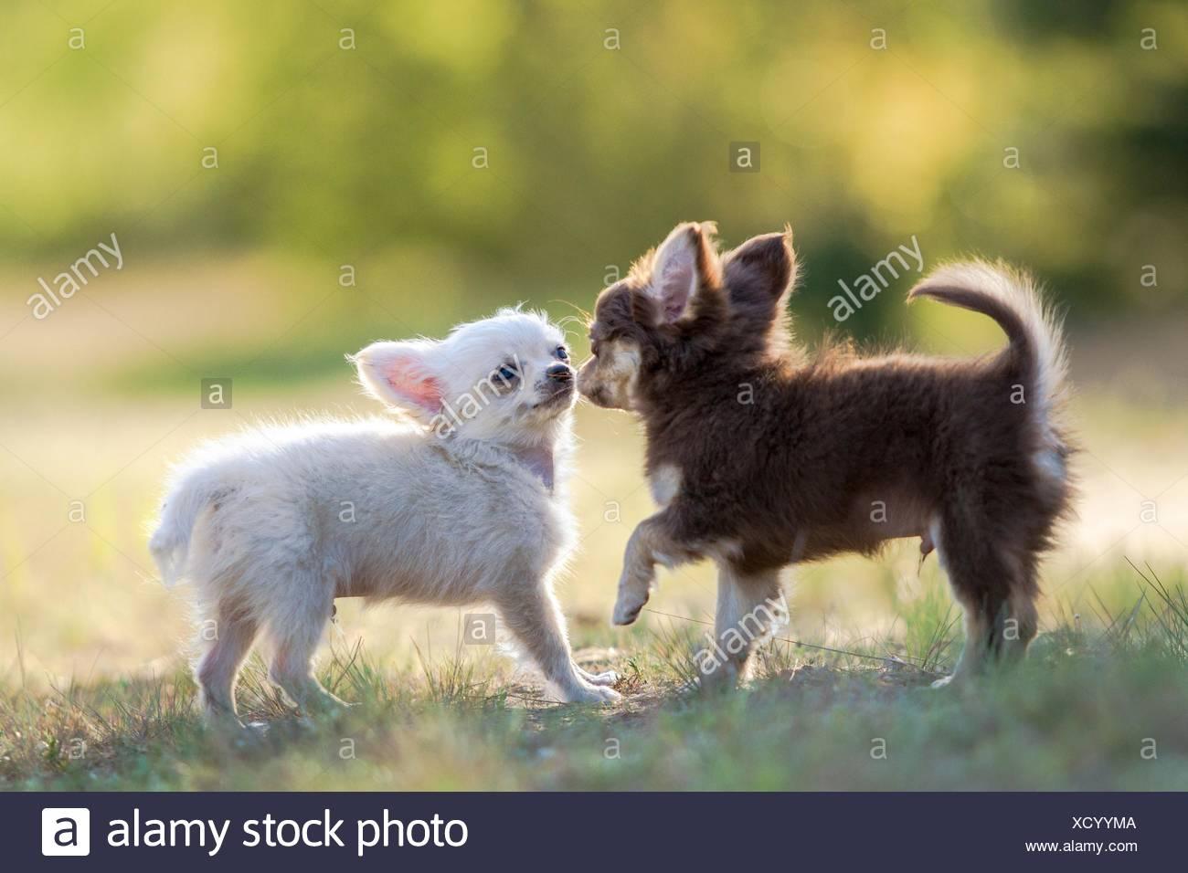 Langhaar Chihuahua Welpen Stockfotografie Alamy