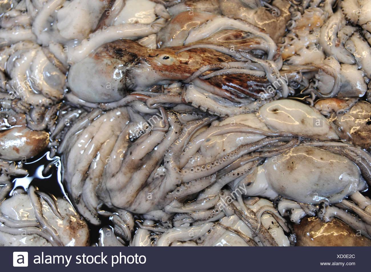 fangfrisch Tintenfischen am Fischmarkt Stockbild