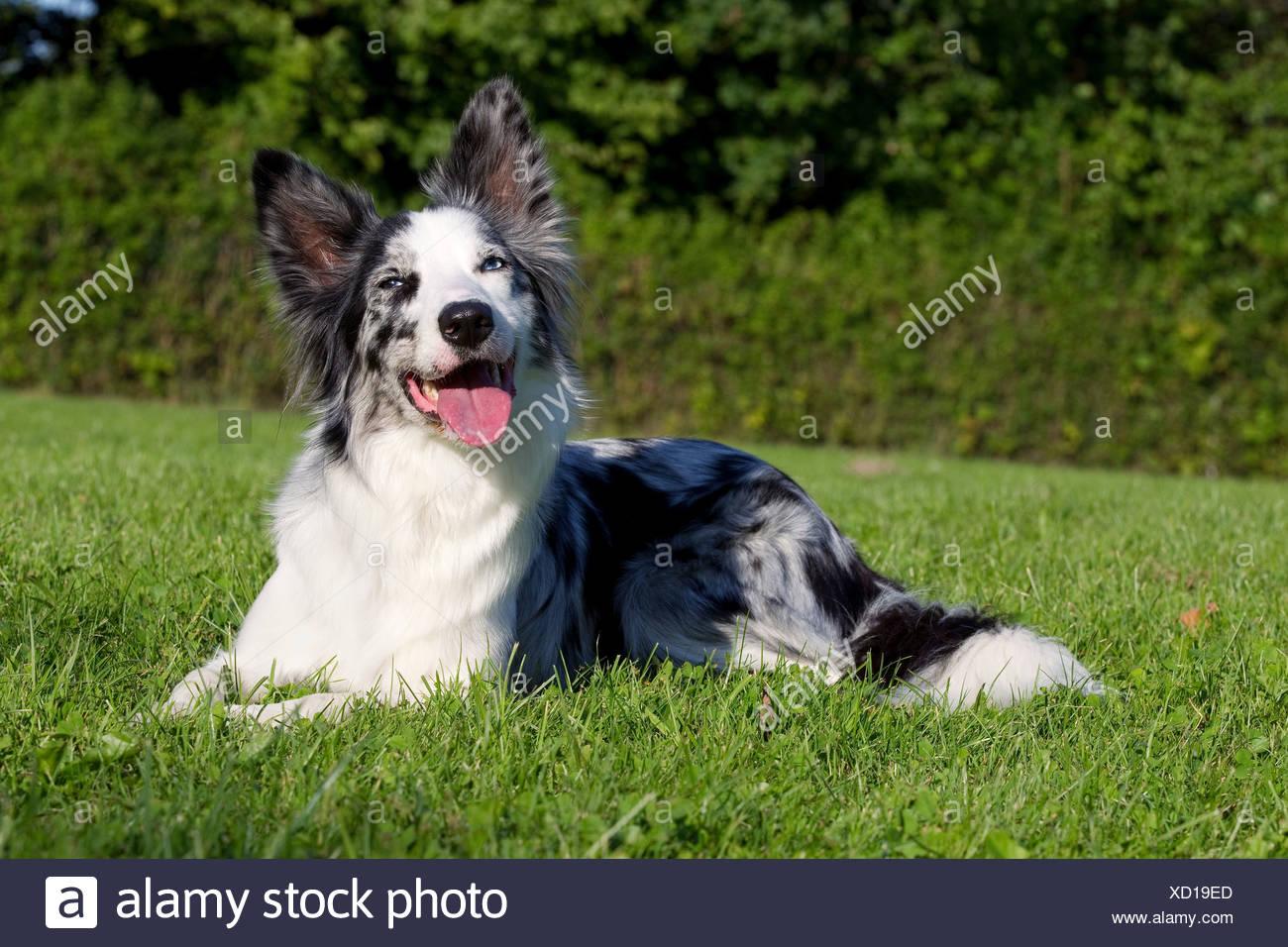 Hund auf dem Rasen liegend Stockbild