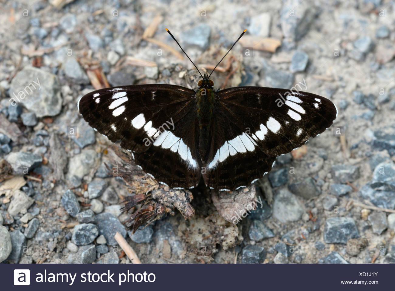 White Admiral Limenitis Camilla Ladoga Camilla Schmetterling