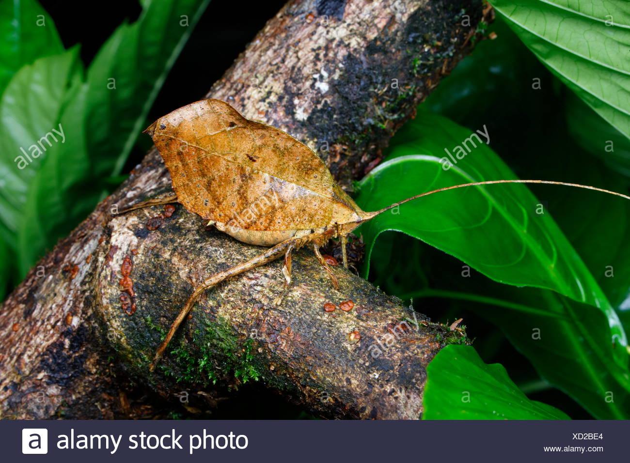 Eine Nahaufnahme von einem toten Blatt katydid nachahmen, tettigoniidae Arten. Stockbild