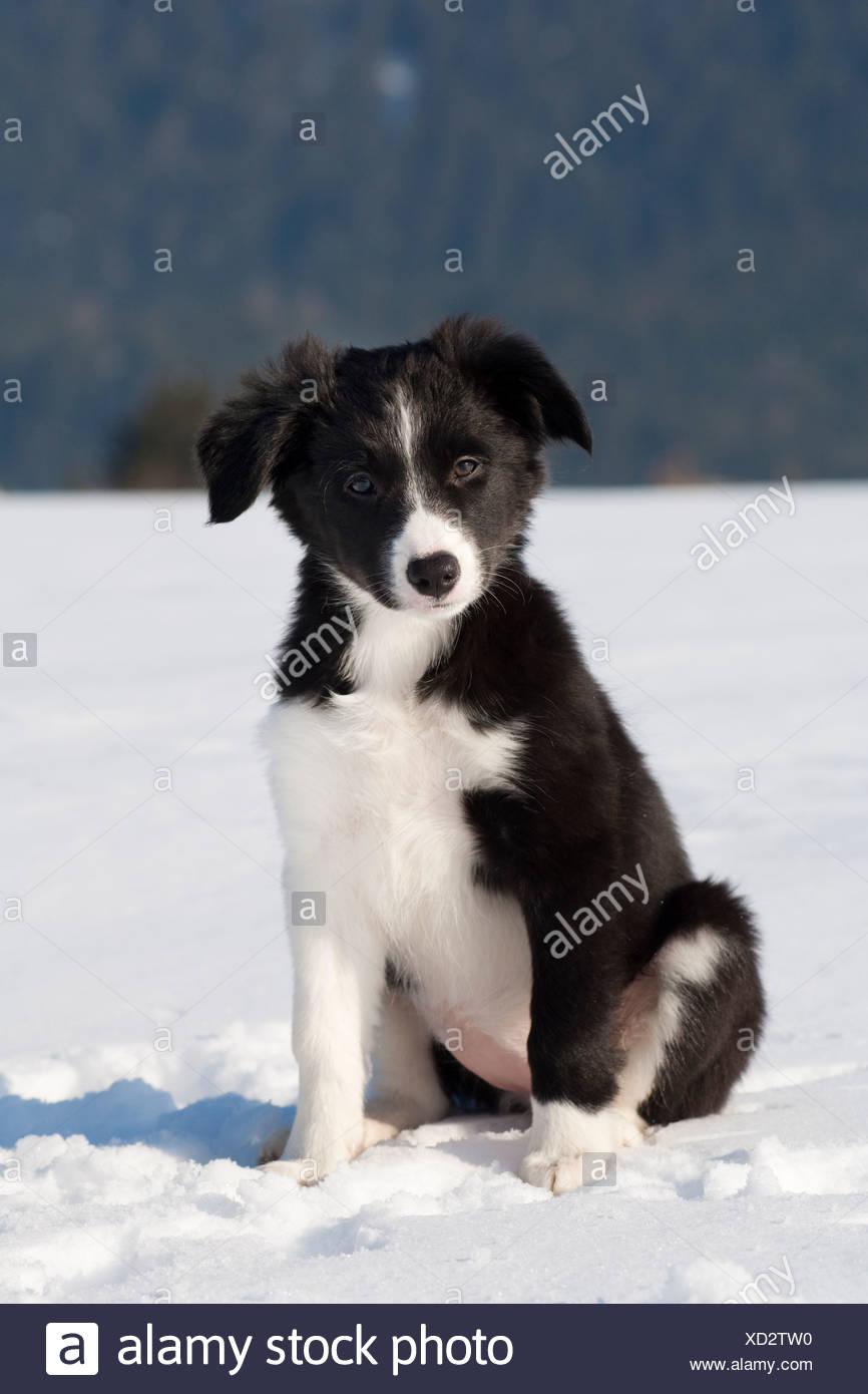 Border Collie Welpen Sitzen Im Schnee Nordlichen Tirol Osterreich Europa Stockfotografie Alamy