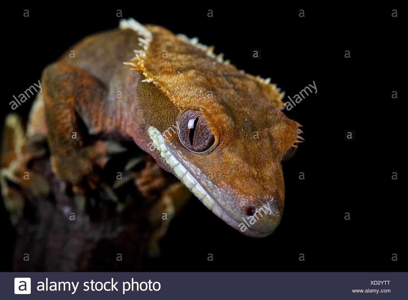 Gefangenschaft, Private Sammlung Crested Gecko Stockfoto