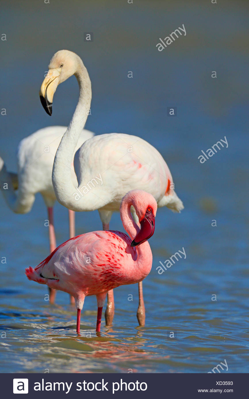 Lesser Flamingo (Phoenicopterus minor, Phoeniconaias minor), stehen im flachen Wasser zusammen mit einem Rosaflamingo, Frankreich, Camargue Stockbild