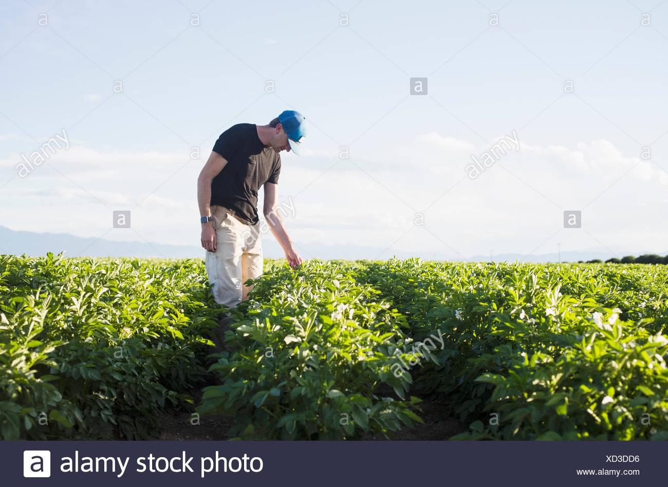 Reifer Mann Blick auf Pflanzen in Feld Stockbild