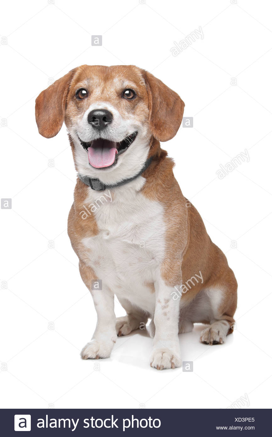 Mischling Hund. BeagleJack Russel Terrier Stockfotografie