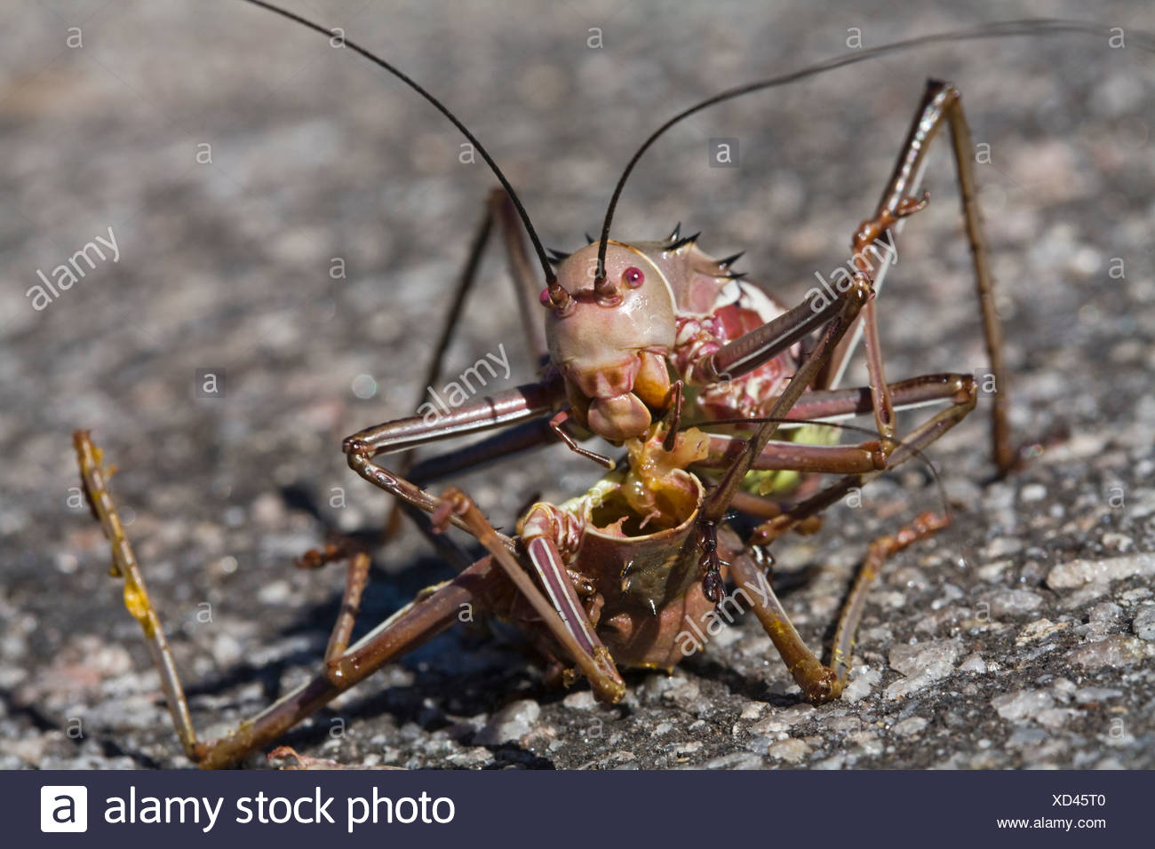 Afrika, Namibia, gepanzerten Cricket (Tettigoniidae), Nahaufnahme Stockbild