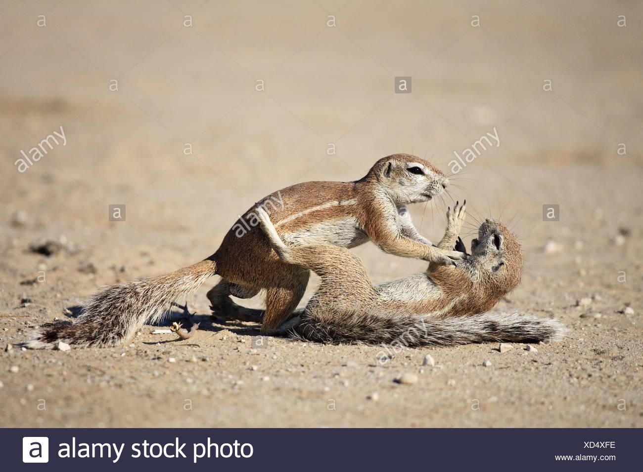 Afrikanische Borstenhörnchen Stockbild