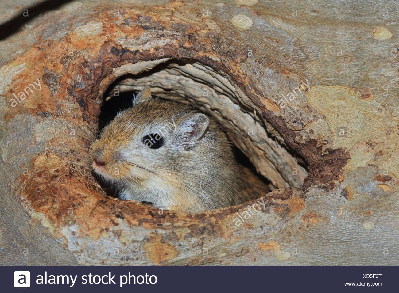 Mongolische Rennmaus, Krallen gehalten (Meriones Unguiculatus), spähte aus seinen verstecken Stockbild