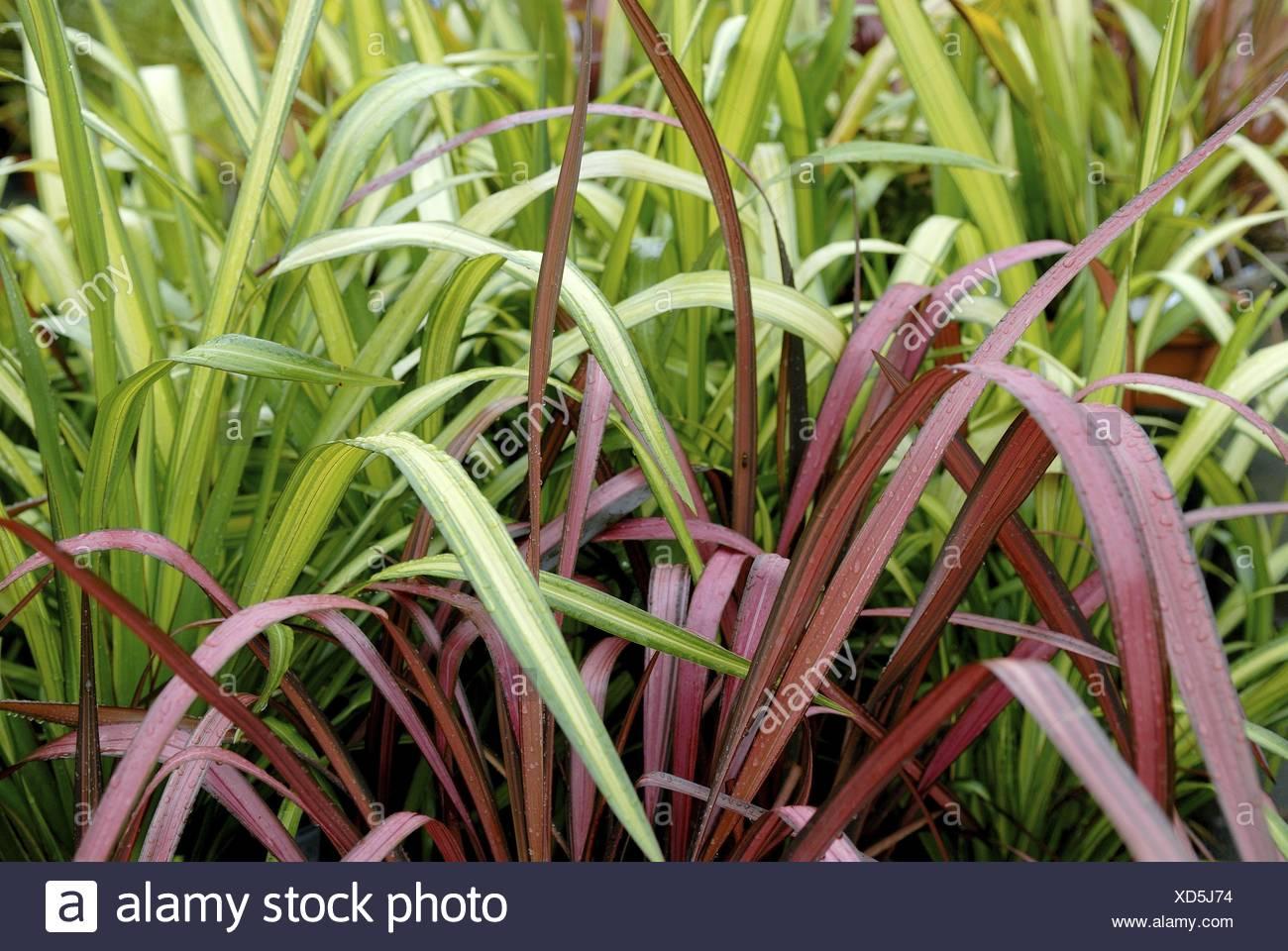 "Neuseeland Flachs (Phormium ""Gelbe Welle"", Phormium Gelbe Welle), Sorte Gelbe Welle Stockfoto"
