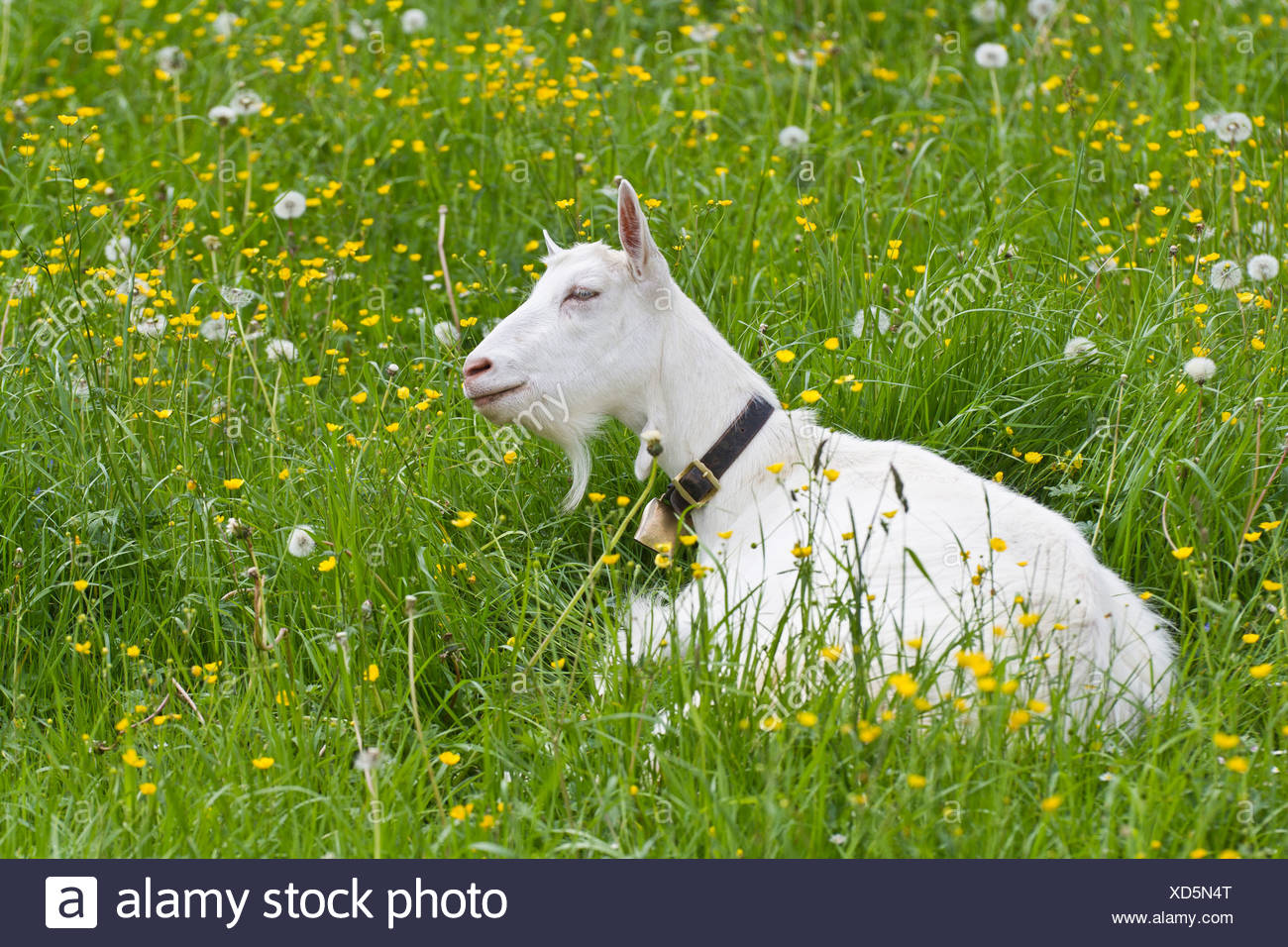 Ziege (Capra Aegagrus Hircus), Alpsteingebirge Berge, Kanton St. Gallen, Schweiz, Europa Stockbild
