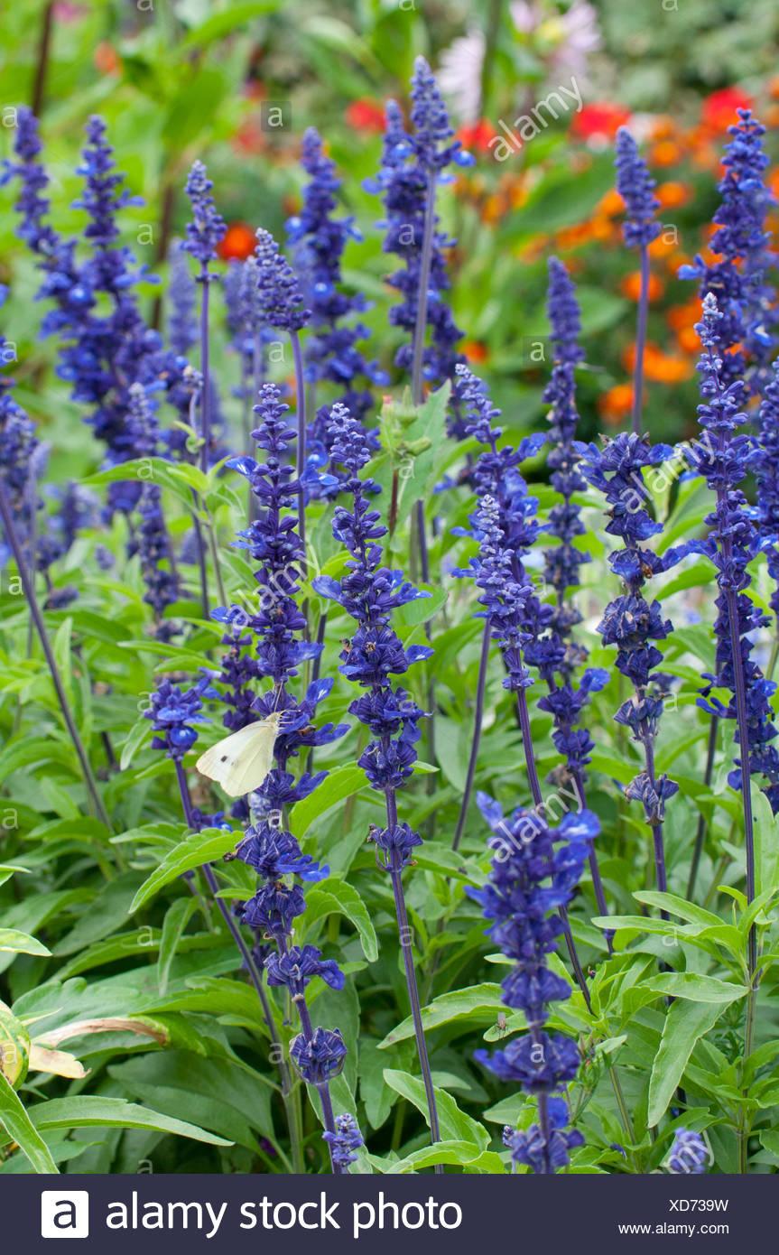 Salvia Farinacea \'Victoria Blue\' (Sauge Farineuse Bleue), Dans un ...