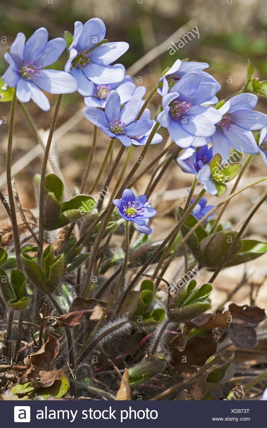 Lebermoos, Anemone Hepatica, Hepatica nobilis Stockfoto