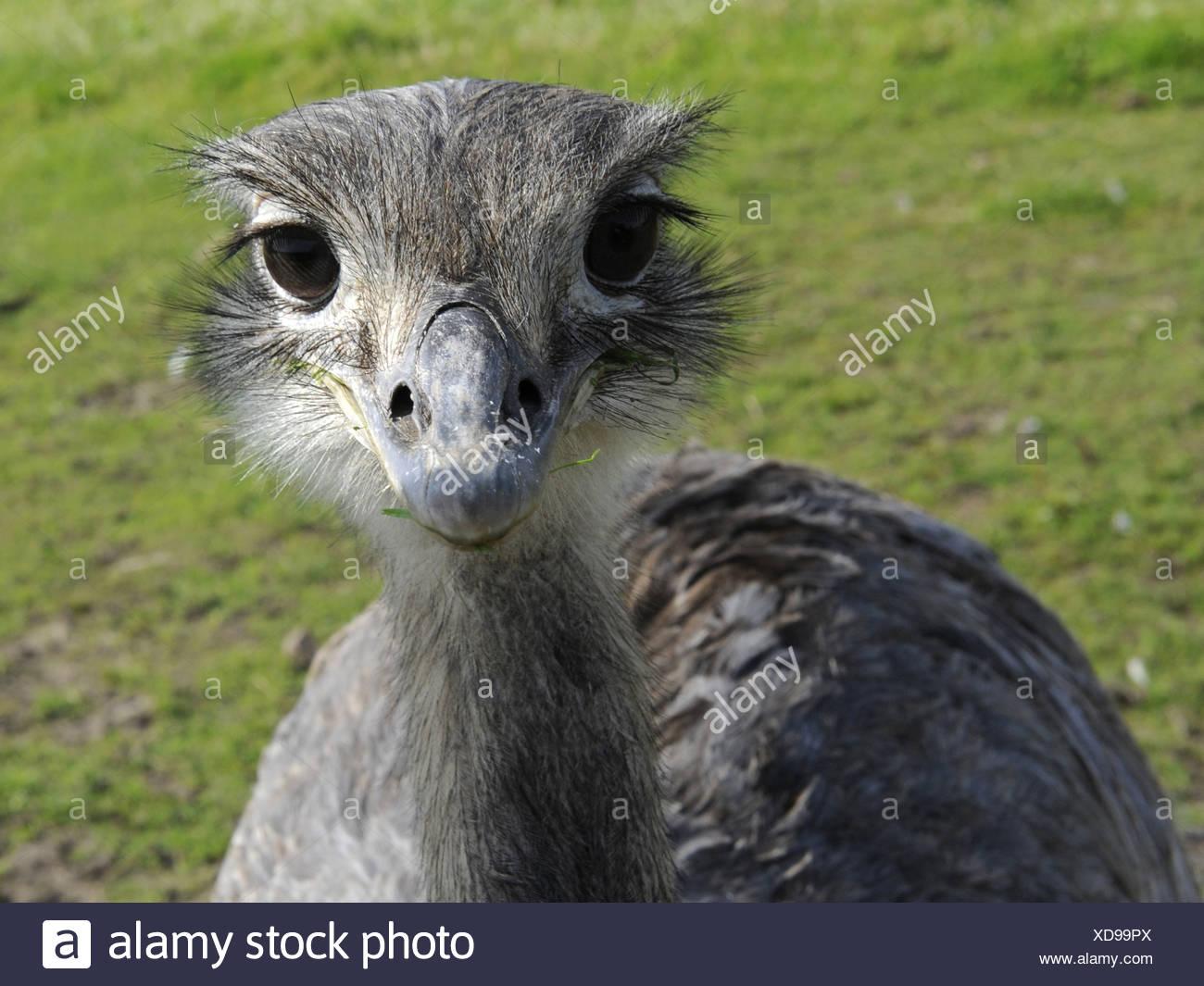 Das Gesicht von einem grauen Rhea. Stockfoto
