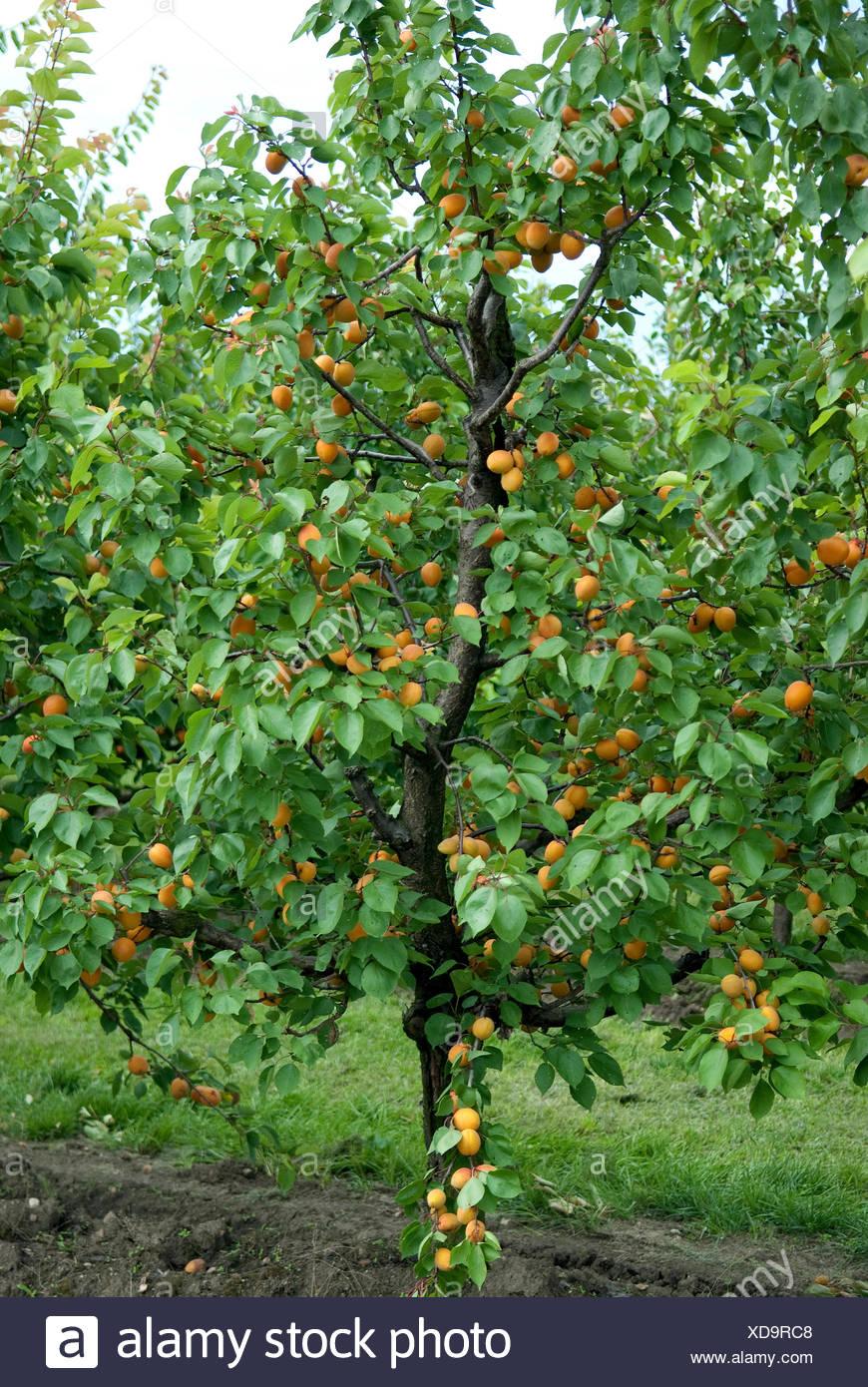 Aprikosenbaum Prunus Armeniaca Goldrich Prunus Armeniaca