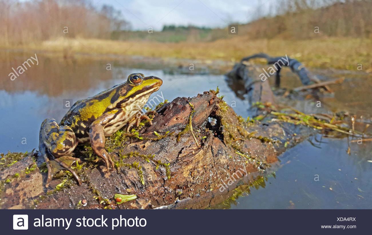 Essbare Frosch in seinem Lebensraum Stockbild