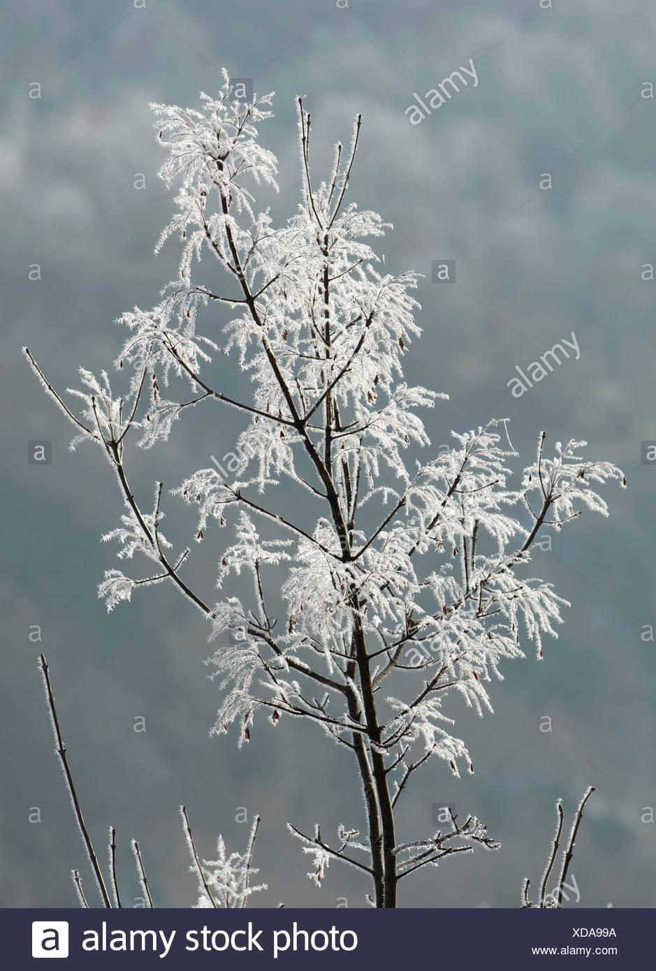Frost am Strauch östlichen Rhodopen Bulgarien Stockfoto