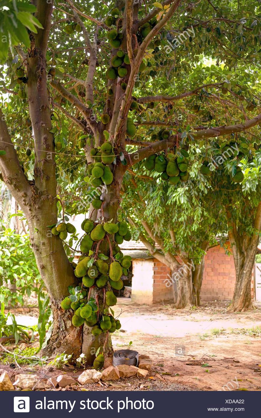 Jackfrüchte (Artocarpus Heterophyllus) Baum mit Obstbau. Stockbild