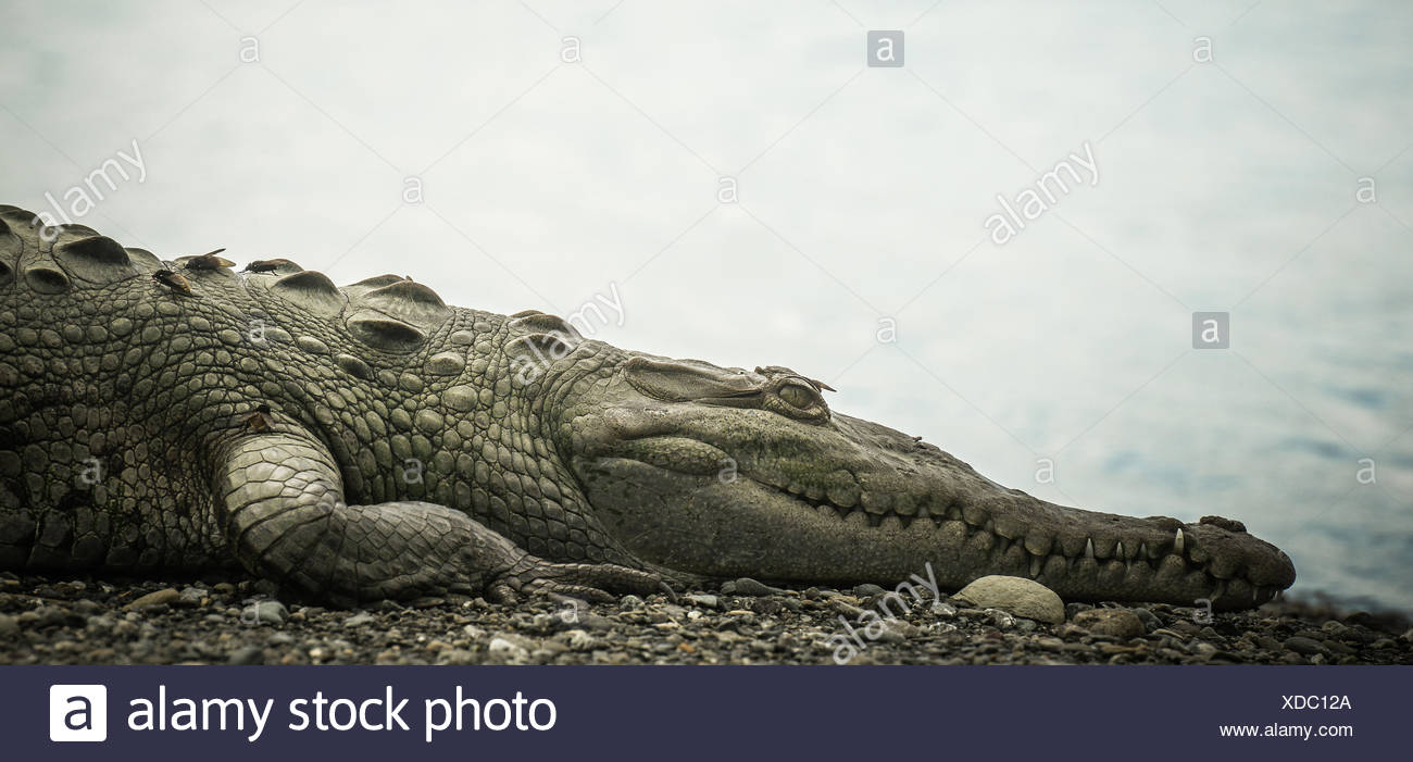 Charmant Krokodil Herzanatomie Fotos - Anatomie Von Menschlichen ...